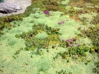 Tepes de Sedum Topgrass